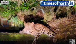 Full Grown Leopards Spotted at Gendrapara Tea Estate of Dooars